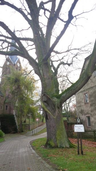 Luthereiche in Annarode, neben der Kirche.