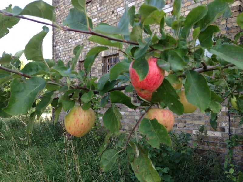 Äpfel am Wegesrand.