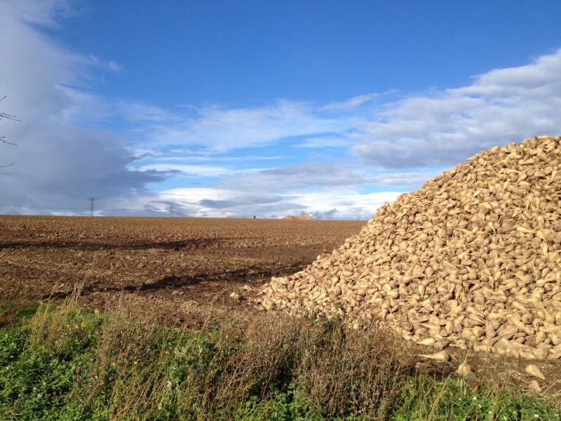 Geerntete Zuckerrüben vor dem Transport zur Weiterverarbeitung in der Zuckerfabrik Könnern.